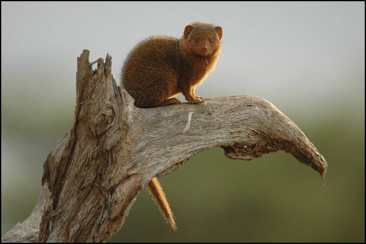 external image dwarf-mongoose.jpg